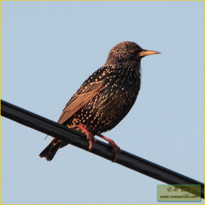 European Starling - Estorninho malhado - Sturnus vulgaris