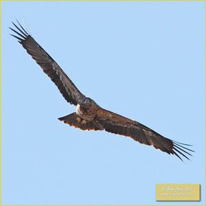 Spanish Eagle - Águia imperial ibérica - Aquila adalberti