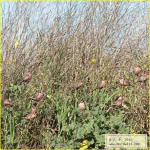 Common Waxbill - Bico de lacre - Estrilda astrild