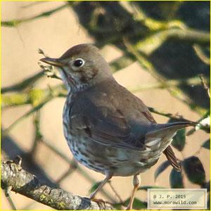 Song Thrush - Tordo pinto - Turdus philomelos