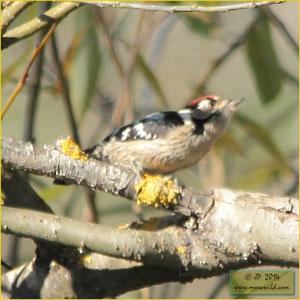 Lesser Spotted Woodpecker - Pica pau galego - Dendrocopos minor