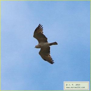 Short-toed Snake-Eagle - Águia cobreira - Circaetus gallicus