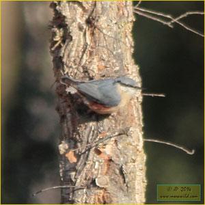 Trepadeira-azul Sitta europaea