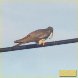 Great Spotted Cuckoo - Cuco rabilongo - Clamator glandarius