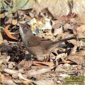 Toutinegra-dos-valados Sylvia melanocephala