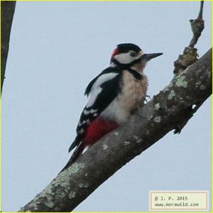 Great Spotted Woodpecker - Pica pau malhado - Dendrocopos major