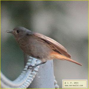Black Redstart - Rabirruivo Phoenicurus - ochruros
