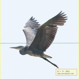 Gray Heron - Garça-real Ardea cinerea