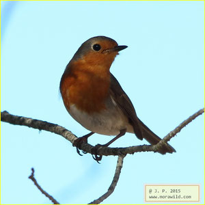 European Robin - Pisco de peito ruivo - Erithacus rubecula