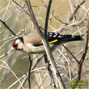 European Goldfinch - Pintassilgo  - Carduelis carduelis