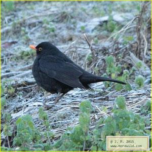 Eurasian Blackbird - Melro - Turdus merula