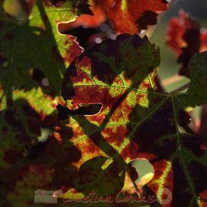 Merlot l'Enchanteur, cépage girondin - Reproduction interdite - Tous droits réservés © Christian Coulais