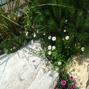 pinus mugo and erigeron