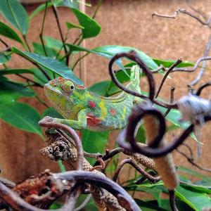 Furcifer minor female