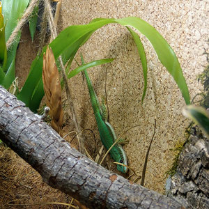 Phelsuma malamakibo