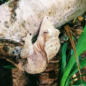 Correlophus ciliatus Confetti Line Superdalmation