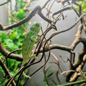 Furcifer viridis