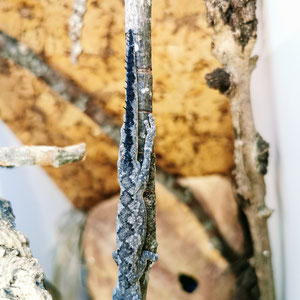 Strophurus spinigerus spinigerus