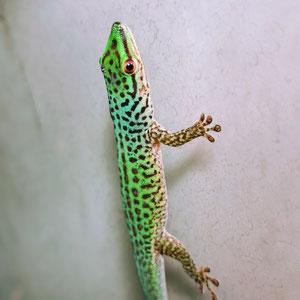 Phelsuma guttata