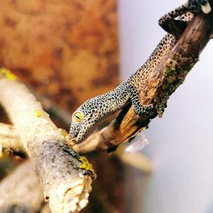Strophurus taenicauda