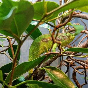 Furcifer antimena female