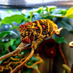 Furcifer pardalis female
