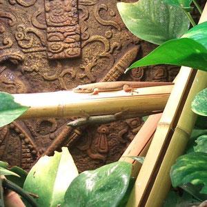 Phelsuma dubia