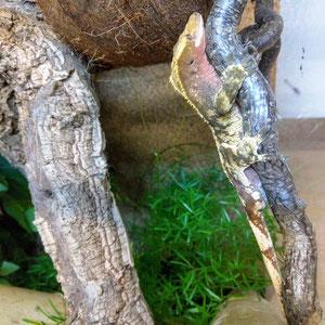 Correlophus ciliatus