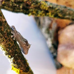 Strophurus ciliaris ciliaris