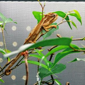 Trioceros serratus female