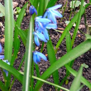 Blausternchen (scilla sibirica)