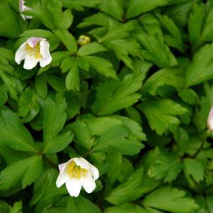 Buschwindröschen (anemone nemorosa