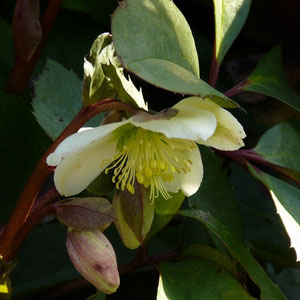 Christrose (helleborus)