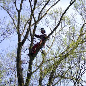 Baumpflege mittels Seilunterstütztes Baumklettern