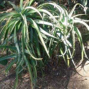 Aloe im eigenen Garten
