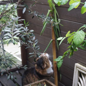 June 12th 2015 Bamboo pierce through screen on the balcony and still growing UP and UP! London the cat is mesmerized by it.