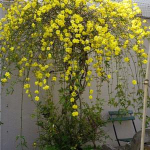 Unnanoubai 雲南黄梅 in full blossom