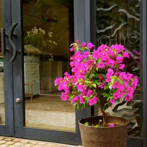 June 13th 2015  Bougainvillea is brighter and happier within a week!