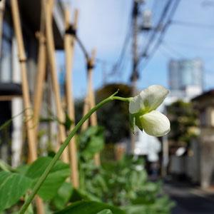 Urban snowpea flower, roppongi hills in background