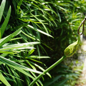 June 1st 2015  Agapanthus bud, started to open. This year I see only 1 bud,,,,