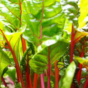welcome to the colorful world of Swiss chard