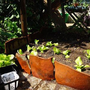 broken pot ledge for manoa lettuce