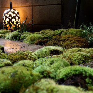 moss from mountain  are now on my urban garden ground cover