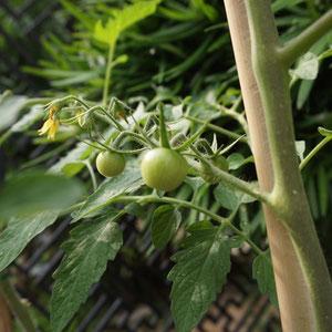 June 13th 2015  tomato!!! getting bigger!!!!