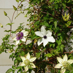 3 kinds of clematis on 1 topiary