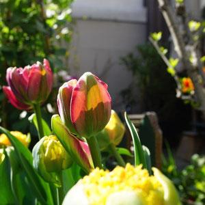 Tulips loves sun