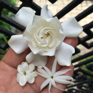 June 5th 2015  Gardenia, Jasmine and my favorite Pikake blossomed at the same time! I love my scented garden.