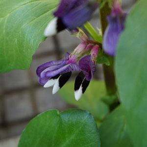 never new feva bean flowers are so so beautiful!