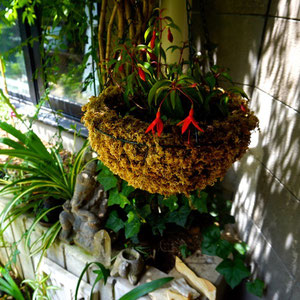 June 13th 2015 Made hanging basket for fucsia