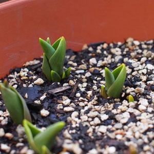 Hello Tulips!